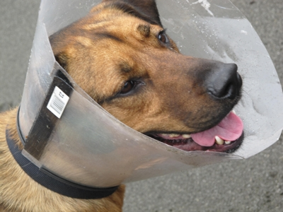 dog with cone on head after injury